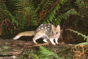 Eastern_Quoll