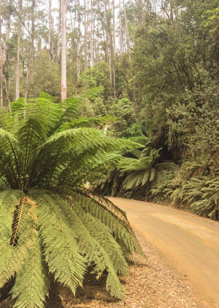 Giant Ferns on Lake Dobson Road.