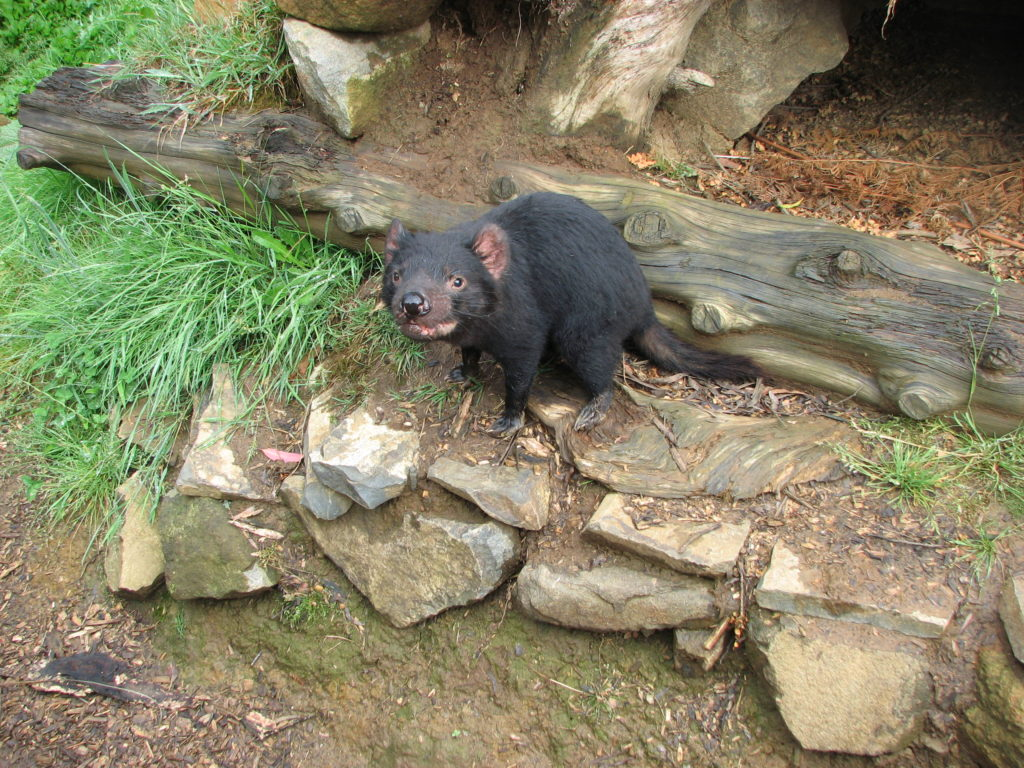 The Tasmanian Devil are the world's largest carnivorous marsupial.