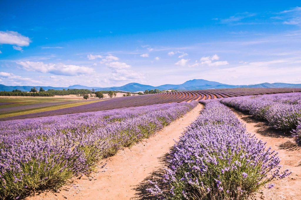 Walk among the lavender flowers at Bridestowe Lavender Farm.