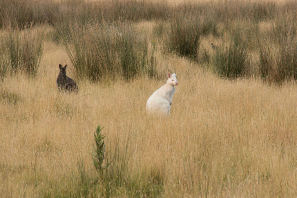 White wallaby at Bruny Island