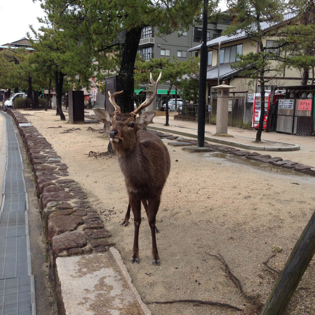 Sika Deer on Miyajima Island are considered sacred animals in Japan.