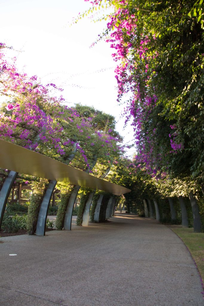 Walk along the Arbour at South Bank and enjoy the 1km length of walkway where magenta bougainvillea plants grow up galvanized steel posts.
