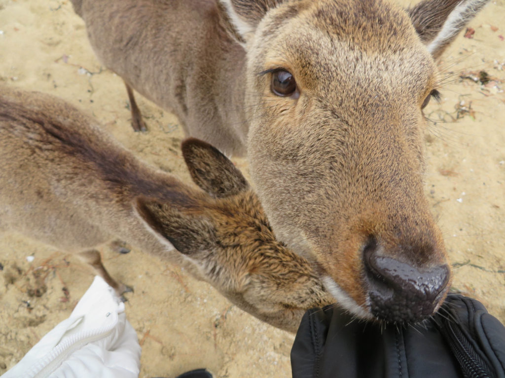 Sika deer are very friendly and will try to eat your belongings!