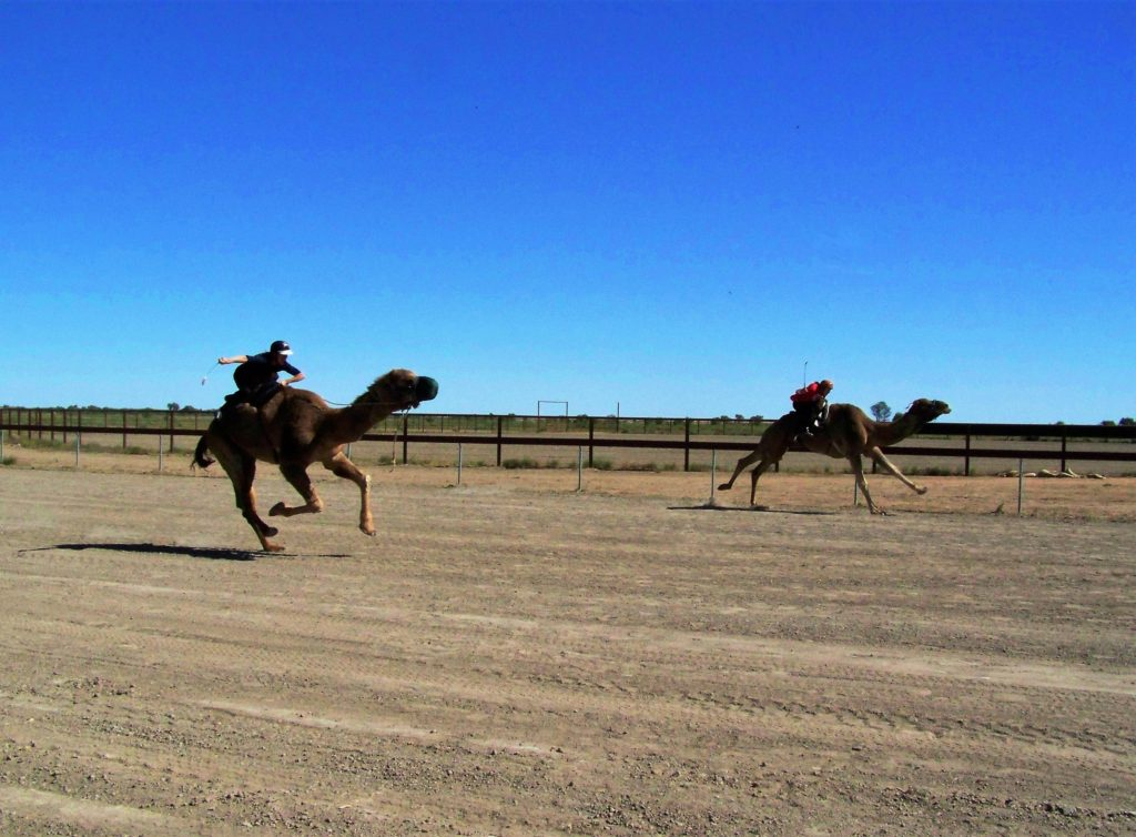 Qld Bucket List - Camels racing at Bedourie