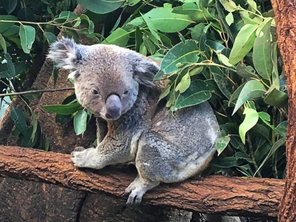 Qld Bucket List - Lone Pine Koala Sanctuary